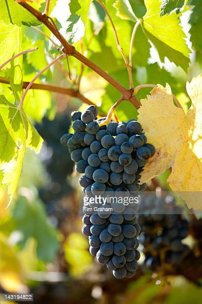 Sangiovese Chianti Classico grapes ripe for picking at Pontignano in Chianti region of Tuscany Italy