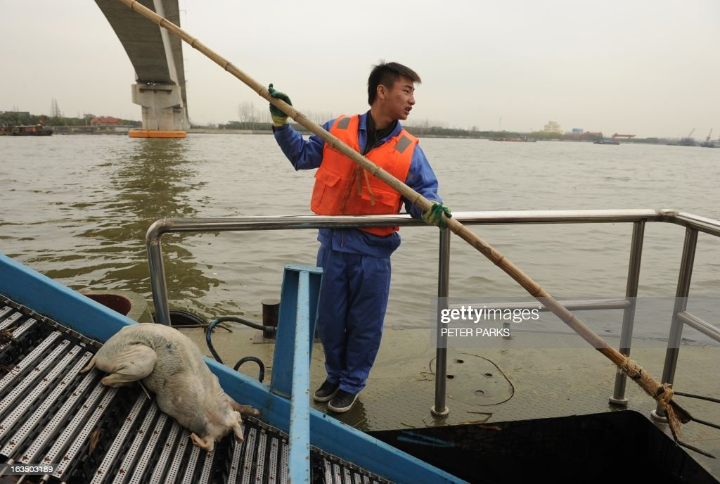 A sanitation worker collects a dead pig from Shanghai's main waterway on March 11, 2013. Nearly 3,000 dead pigs have been found floating in Shanghai's main waterway, the Chinese city's government said on March 11 as residents expressed fears over possible contamination of drinking water. AFP PHOTO/Peter PARKS