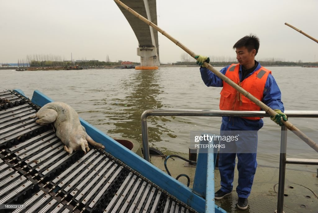 A sanitation worker watches a dead pig being collected from Shanghai's main waterway on March 11, 2013. Nearly 3,000 dead pigs have been found floating in Shanghai's main waterway, the Chinese city's government said on March 11 as residents expressed fears over possible contamination of drinking water. AFP PHOTO/Peter PARKS