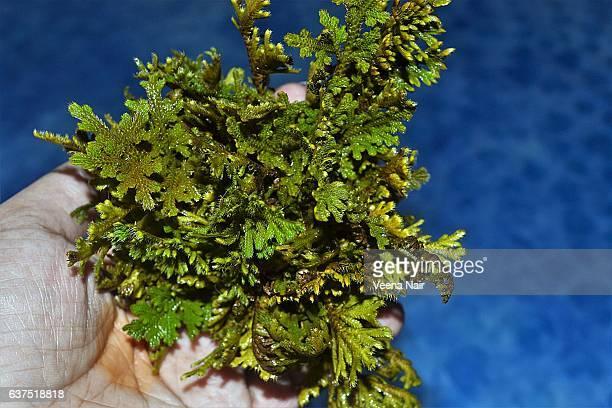 Sanjeevani/Sanjeevani Booti/Ayurveda/Herb/Selaginella bryopteris