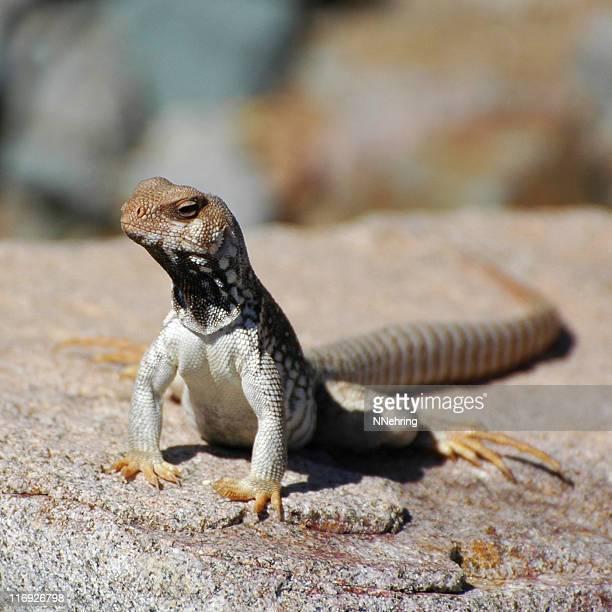 Desierto de Santa Catalina, Dipsosaurus catalinensis iguana