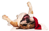happy english bulldog wolling on its back while wearing a santa claus hat on white background