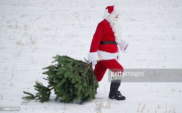 A Santa Claus pulls a Christmas tree on December 12 2012 in Mellensee eastern Germany AFP PHOTO / PATRICK PLEUL /GERMANY OUT