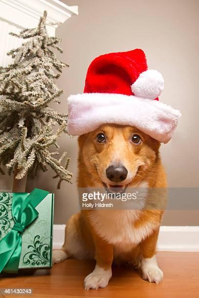 Santa Corgi Dog