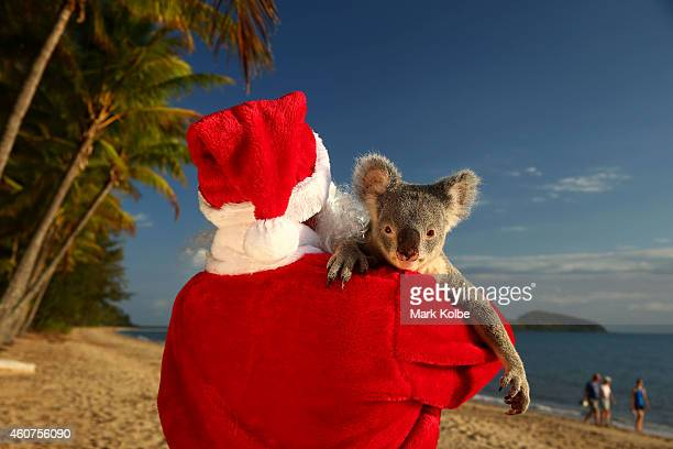Santa couldnt resist a cuddle from his little helper a koala named Forest from Cairns Tropical Zoo in Queensland Australia Queensland wildlife...