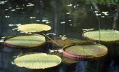 Santa Cruz Waterlily Nymphaeaceae