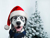 Christmas and New Year. Dalmatian Dog in Santa hats on a background of snow-covered trees