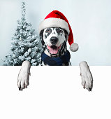 Christmas and New Year. Dalmatian Dog in Santa hats on a background of snow-covered trees. space for your text ads.