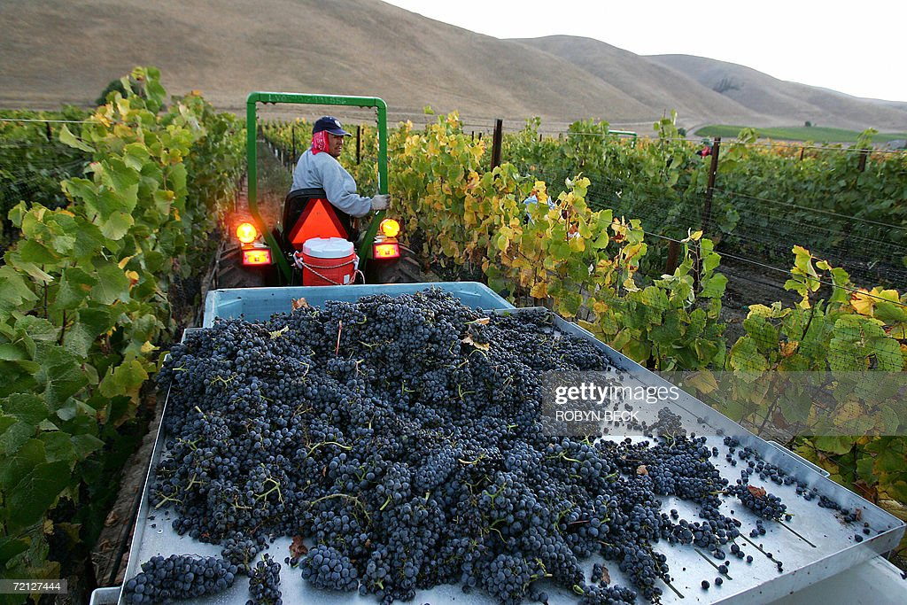 A farm worker drives a tractor with freshly harvested Pinot Noir wine grapes 09 October 2006 at the Byron Vineyard and Winery in Santa Maria...