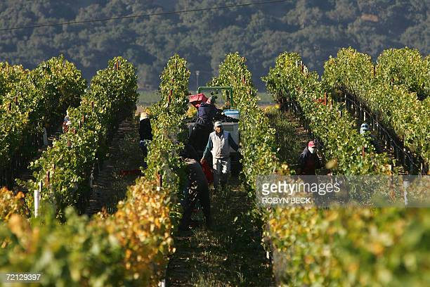 Farm workers harvest Pinot Noir wine grapes 09 October 2006 at the Byron Vineyard and Winery in Santa Maria California Cooler weather earlier this...