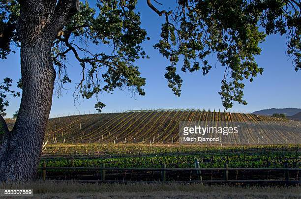 Santa Ynez vineyards