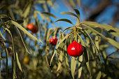 Santalum acuminatum,  desert bush tucker peach quandong.  Australian natine fruit