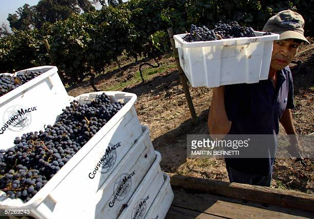 A worker of the Cousino Macul vineyard carries a box with bunches of grapes of Merlot stock 06 April 2006 near Santiago This vineyard in Chile since...
