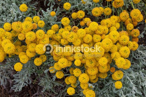 Santolina Chamaecyparissus Traditional Wild Medicinal Plant With