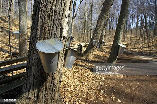 Sap Buckets on Maple