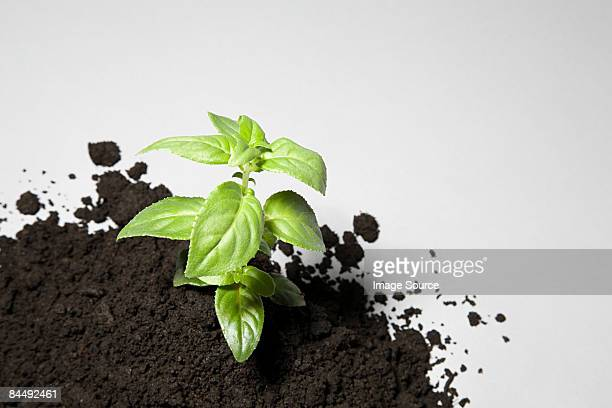 Sapling growing from mound of soil