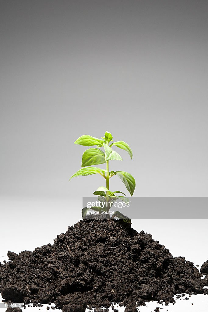 Sapling growing from mound of soil : Stock Photo