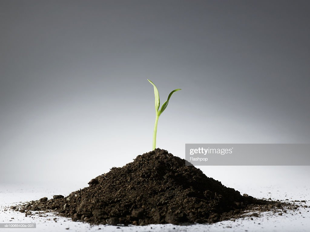 Sapling in mound of earth : Stock Photo