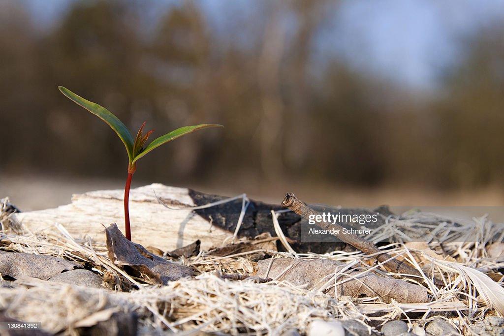 Sapling in spring : Stock Photo