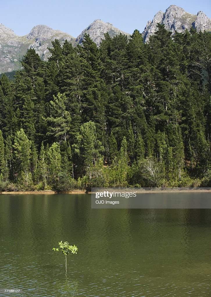 A sapling in the water with the shore behind : Stock Photo