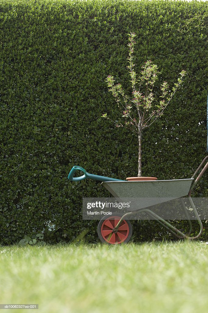 Sapling in wheelbarrow by hedge, ground view : Stock Photo