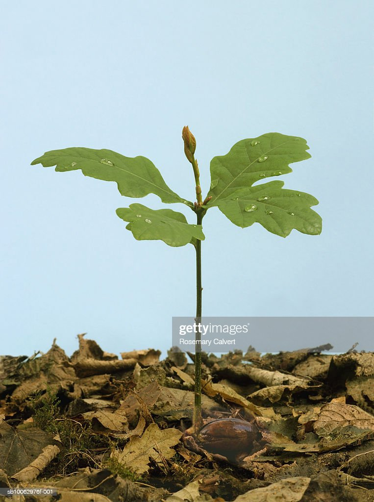 Sapling oak tree developing from acorn amongst brown leaves : Stock Photo
