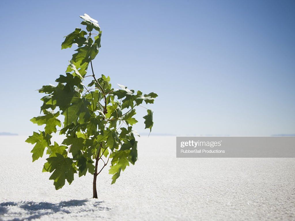 sapling sprouting in the middle of the desert : Stock Photo