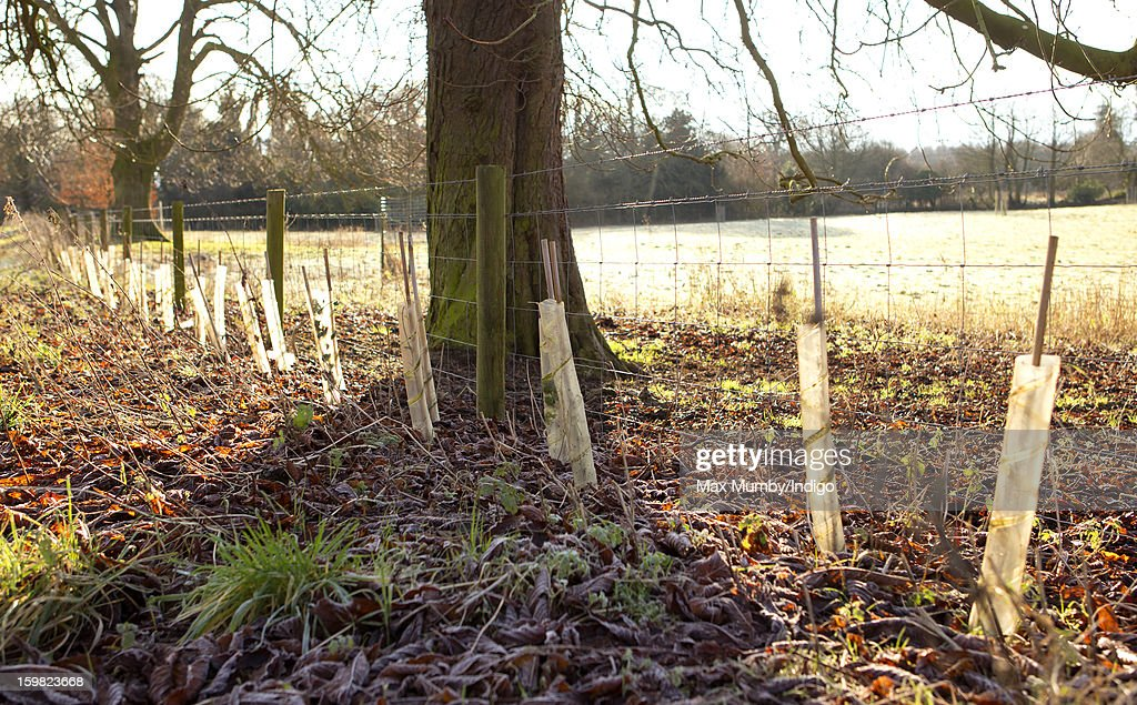 Saplings planted around the perimeter of the grounds of Anmer Hall on the Sandringham Estate on January 13, 2013 in King's Lynn, England. It has been reported that Queen Elizabeth II is to give Anmer Hall to Prince William, Duke of Cambridge and Catherine, Duchess of Cambridge to be their country house.