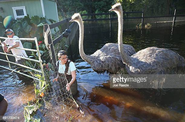 Sarah Dillow helps move ostriches from their flooded pen on October 7 2015 in Givhans South Carolina The state of South Carolina experienced record...