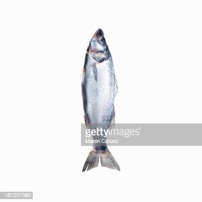 Sardine Fish on White Background