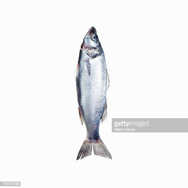 Sardine Fish on White Background