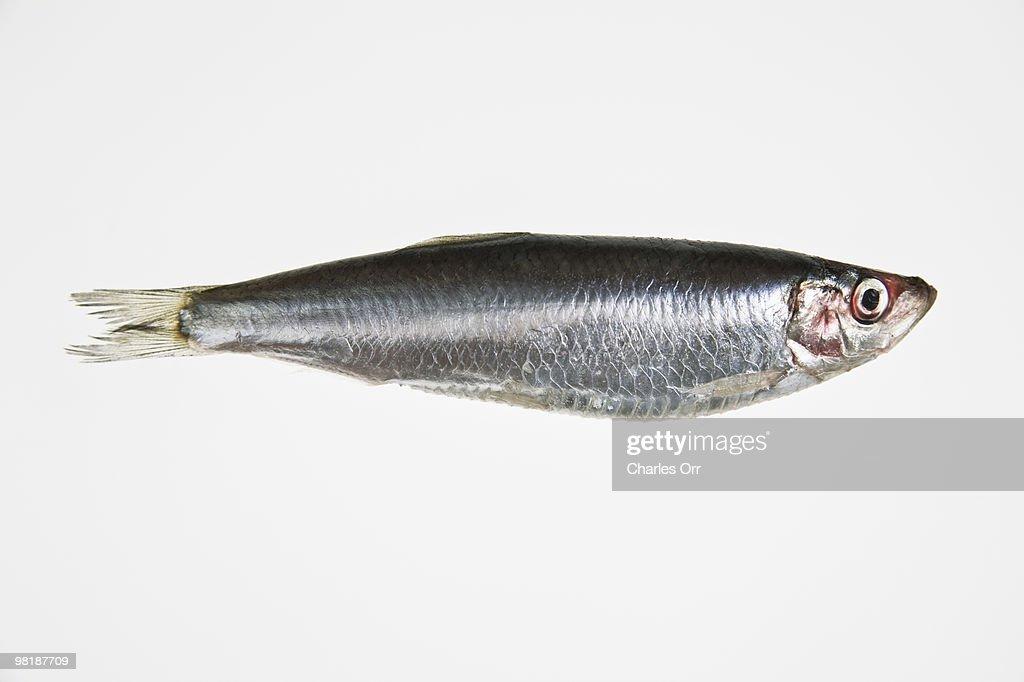 A sardine : Stock Photo