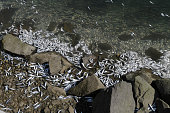 Sardines and other small fish in the hundreds of thousands washed up dead overnight in the harbor area of Redondo Beach Calif triggering a cleanup...