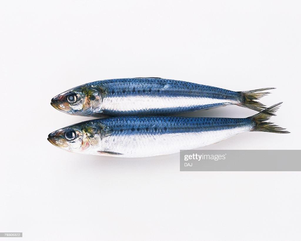 Sardines, high angle view