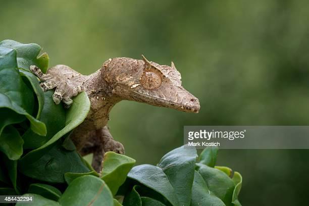Gecko lurking sataniques perpétrées feuille d'arbre
