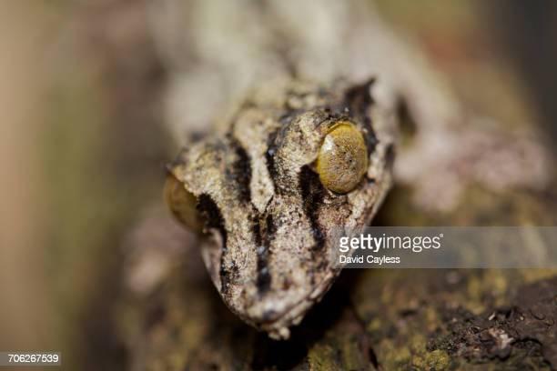 Satanic (or giant) leaf-tailed gecko