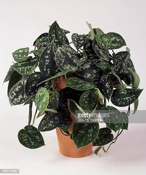Satin pothos or Silver philodendron Araceae