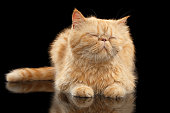 Satisfied Exotic ginger cat Lying on Black mirror background