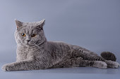 satisfied grey british short hair cat lying down looking away isolated on a purple background.