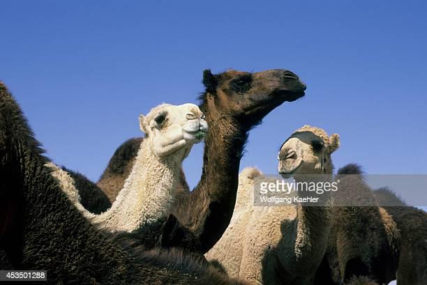 Saudi Arabia Near Riyadh Camel Market