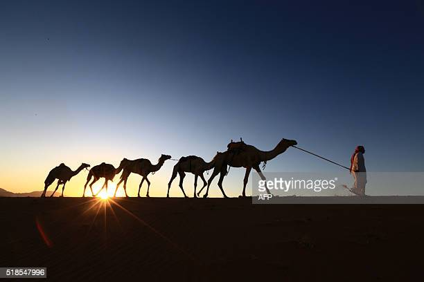 Saudi man leads camels as he heads back home from a training center on April 1 2016 near the city of Tabuk located some 1500km northwest of the...