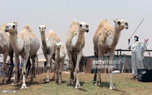A Saudi wears a mouth and nose mask as he leads camels at his farm on May 12 2014 outside Riyadh Saudi Arabia has urged its citizens and foreign...