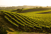 A beautiful hillside vineyard of Sauvignon Blanc grapes in central California.