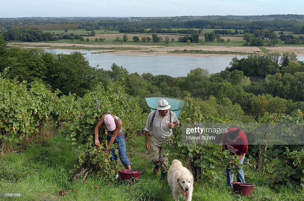 People harvest grapes 28 September 2006 at the Chateau de La Roche aux Moines vineyard near the Loire river in Savennieres western France The wine...