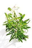 Savory (Satureja hortensis), close-up