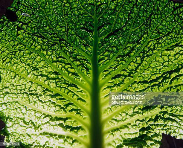 Savoy cabbage leaf with light effect Brassicaceae