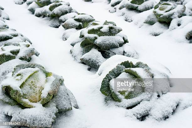 Savoy cabbage on the field in winter