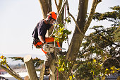 Man sawing tree at the top of the tree with chainsaw and all safety equipment needed for cutting the tree tops.