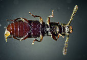 Sawtoothed grain beetle. The Microscopic World.
