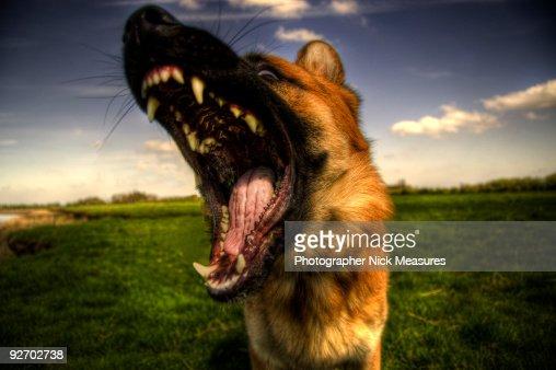 german shepherd growling - photo #23